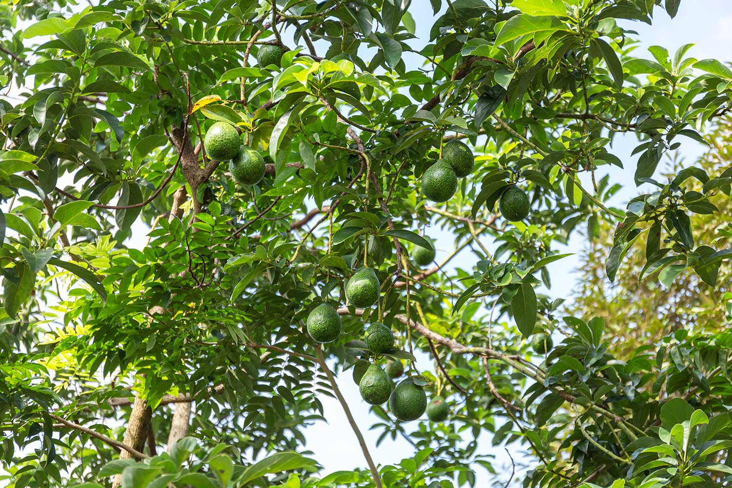 Avocado Tree Day