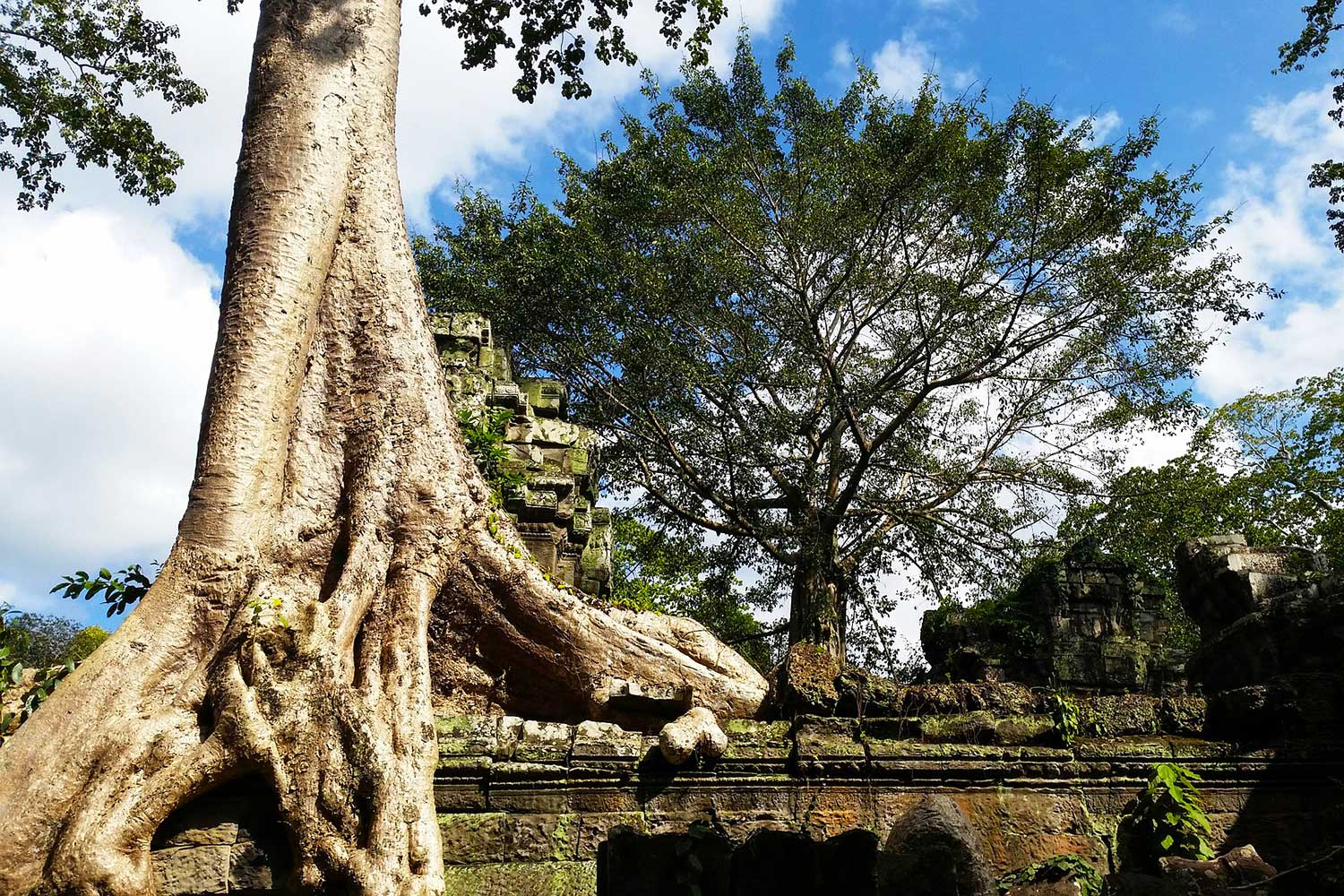 Ta Prohm Tree Day
