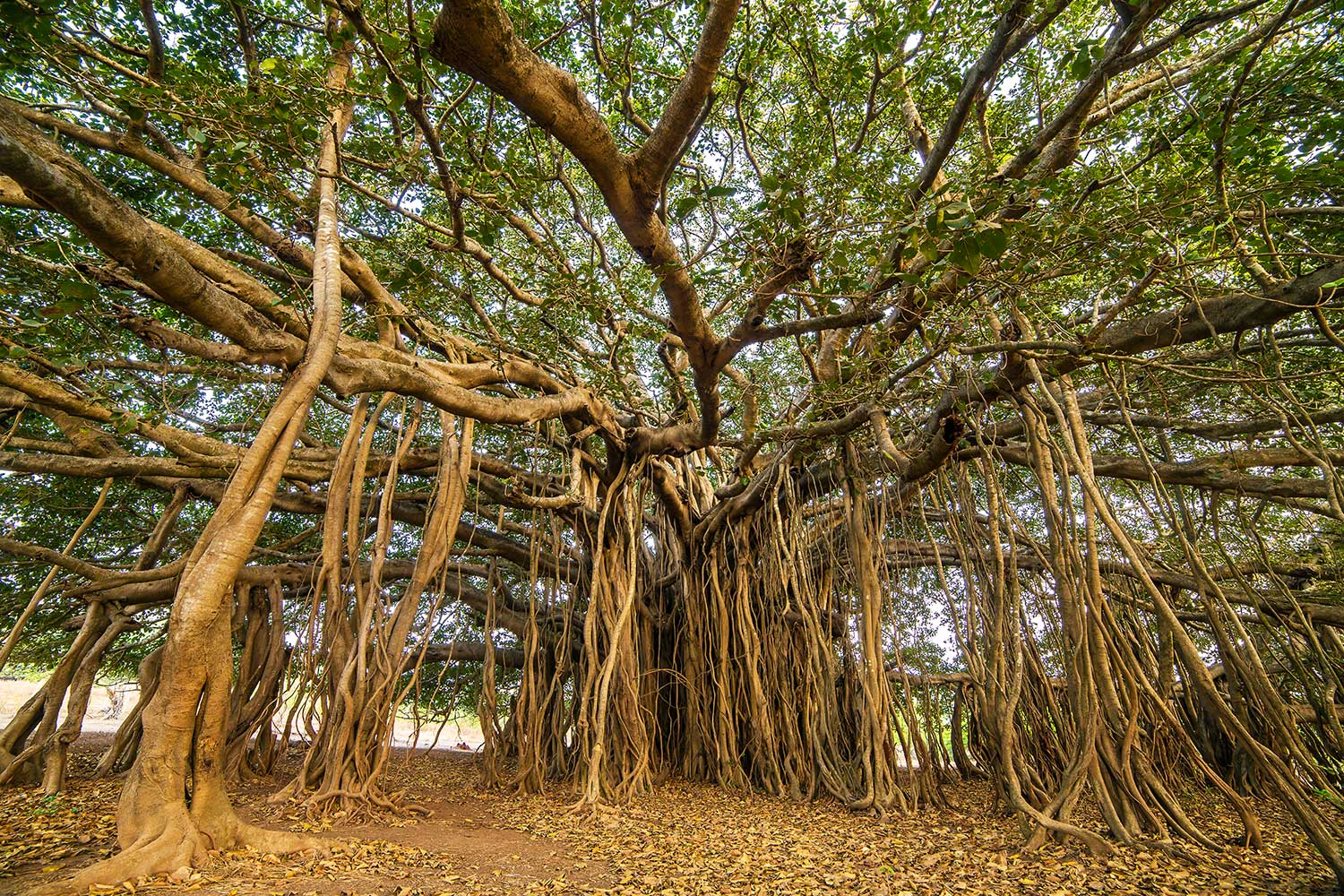 Banyan Tree Day