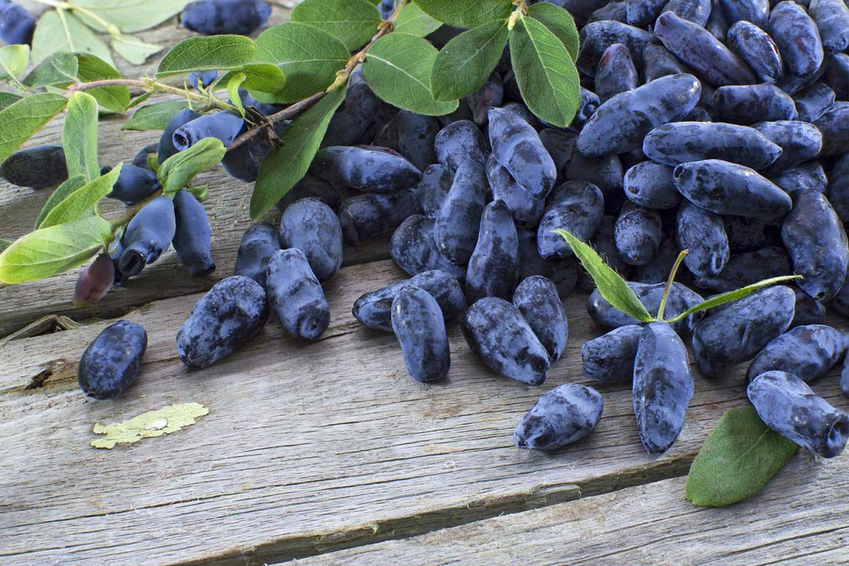 Haskap Berry Day, also known as Blue Honeysuckle Day