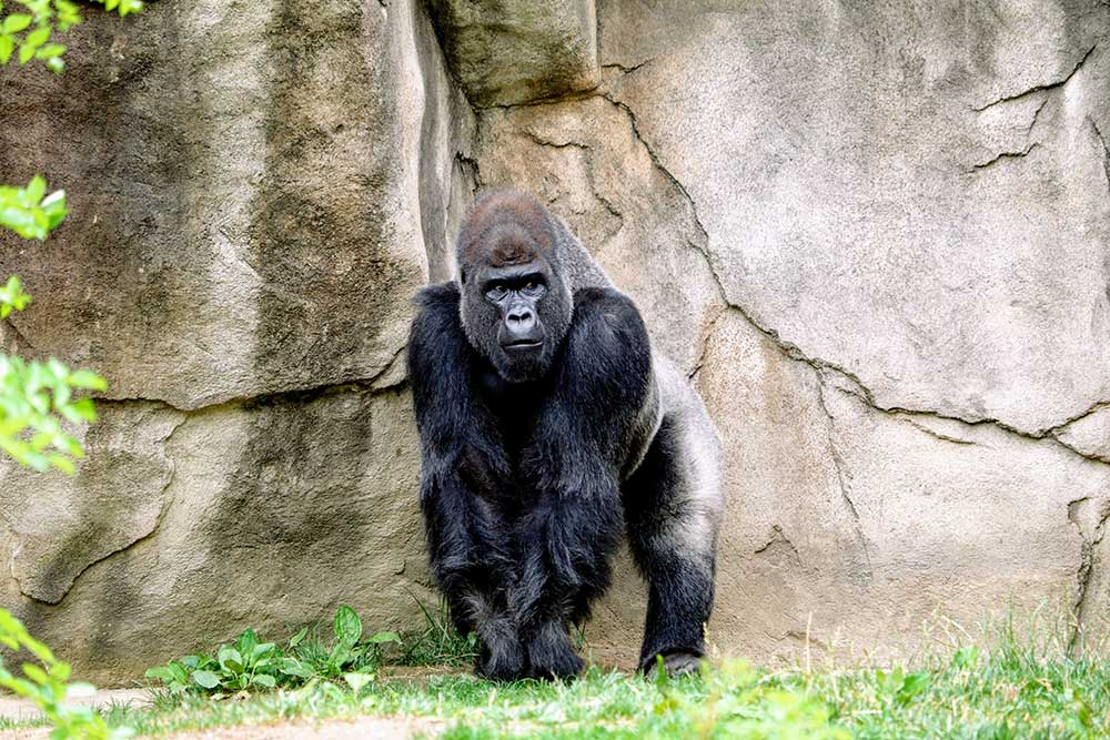 Gorilla - Endangered Species Day