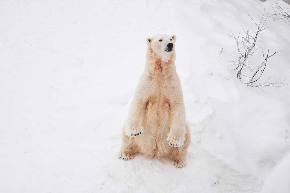 Polar Bear - Endangered Species Day