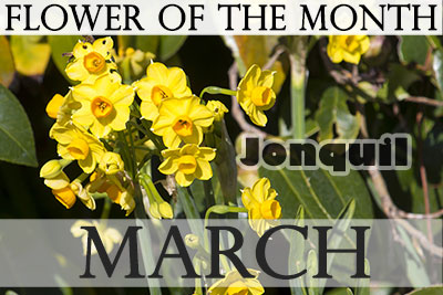 March Flower Jonquil