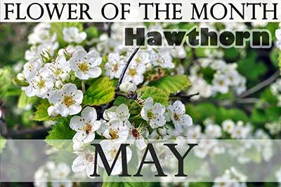 May Flower Hawthorn