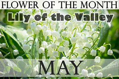 May Flower Lily of the Valley