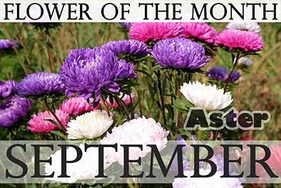 September Flower Aster
