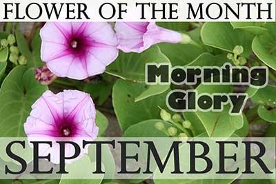 September Flower Morning Glory