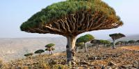 Dragon Blood Tree Day