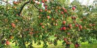 Apple Tree Day