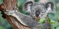 Save The Koala Day