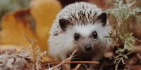 Hedgehog Day